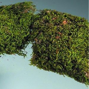 Mossa - grön