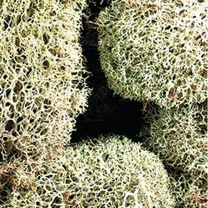 Vitmossa (lav) - naturlig